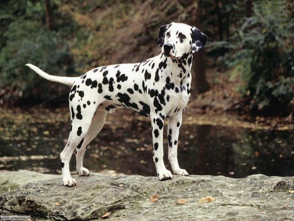 Foto sfondi Cani e cuccioli 007