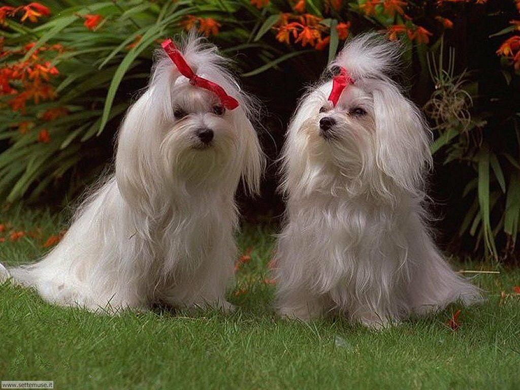 Foto sfondi Cani e cuccioli 011