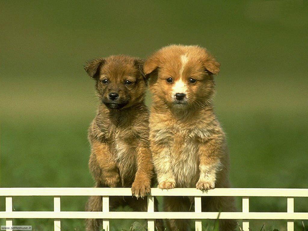 Foto sfondi Cani e cuccioli 013