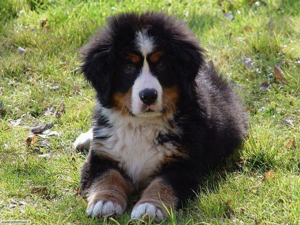 Foto sfondi Cani e cuccioli 025
