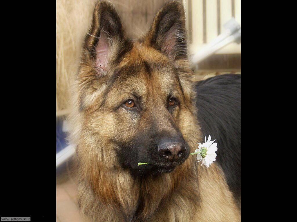 Foto sfondi Cani e cuccioli 040