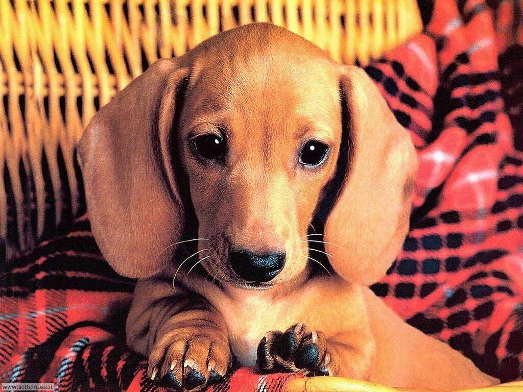 Foto sfondi Cani e cuccioli 060