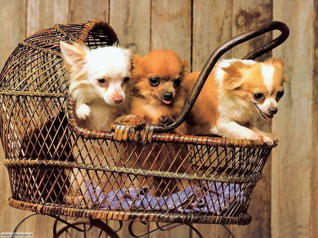 Foto sfondi Cani e cuccioli 064