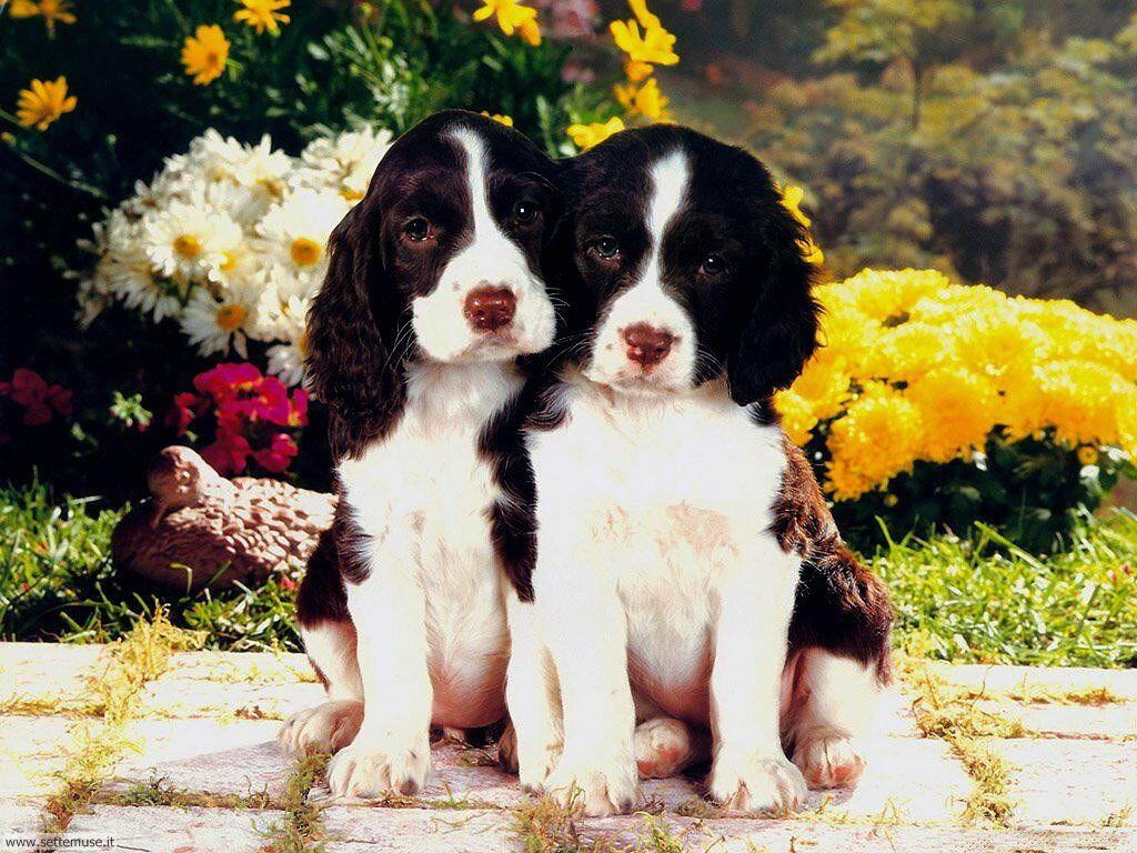Foto sfondi Cani e cuccioli 067