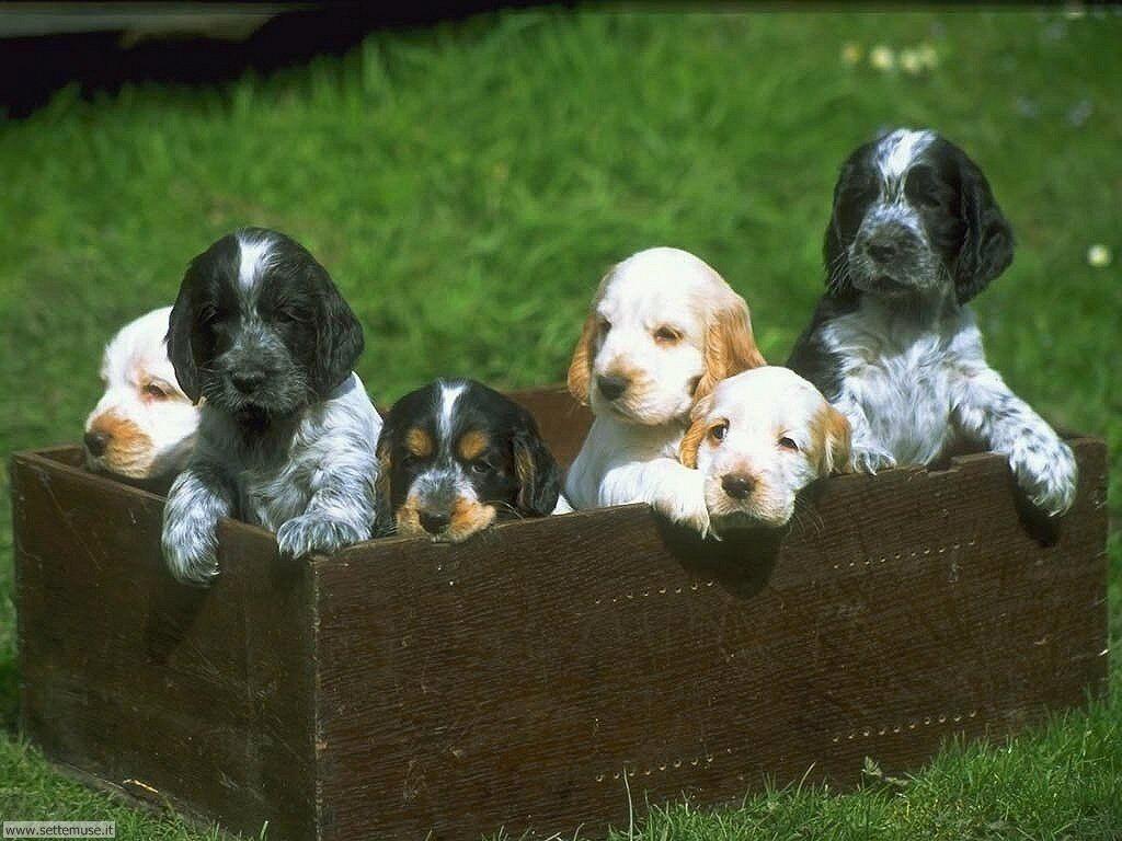 mammiferi cani e cuccioli 085.jpg