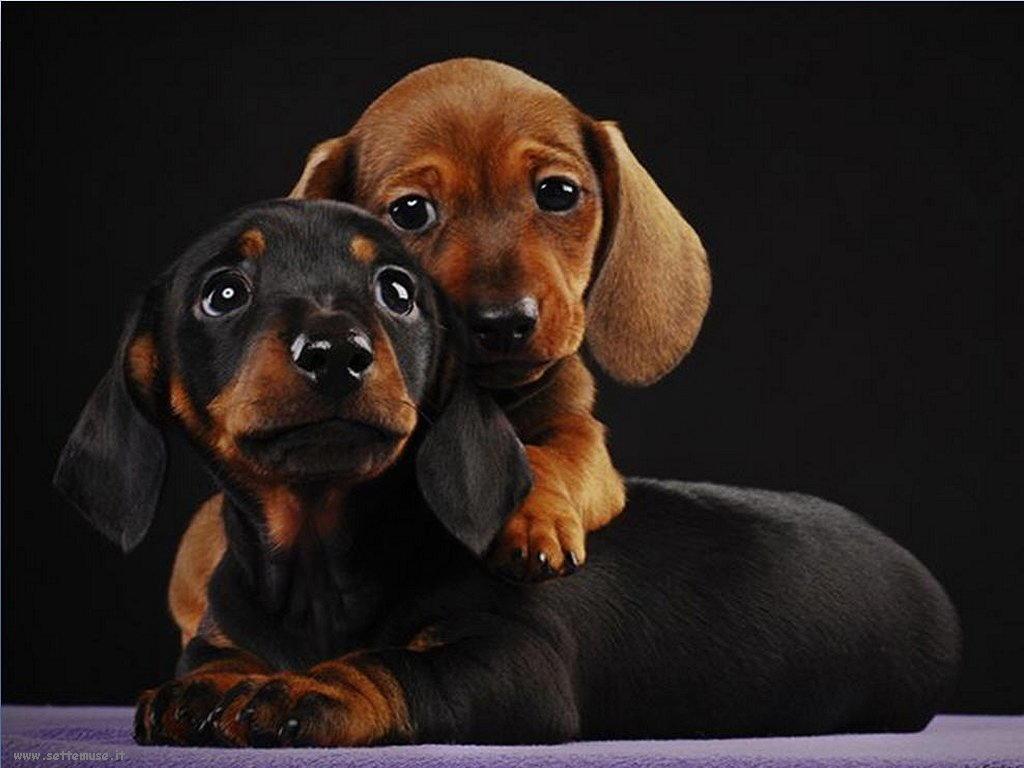mammiferi cani e cuccioli 091.jpg