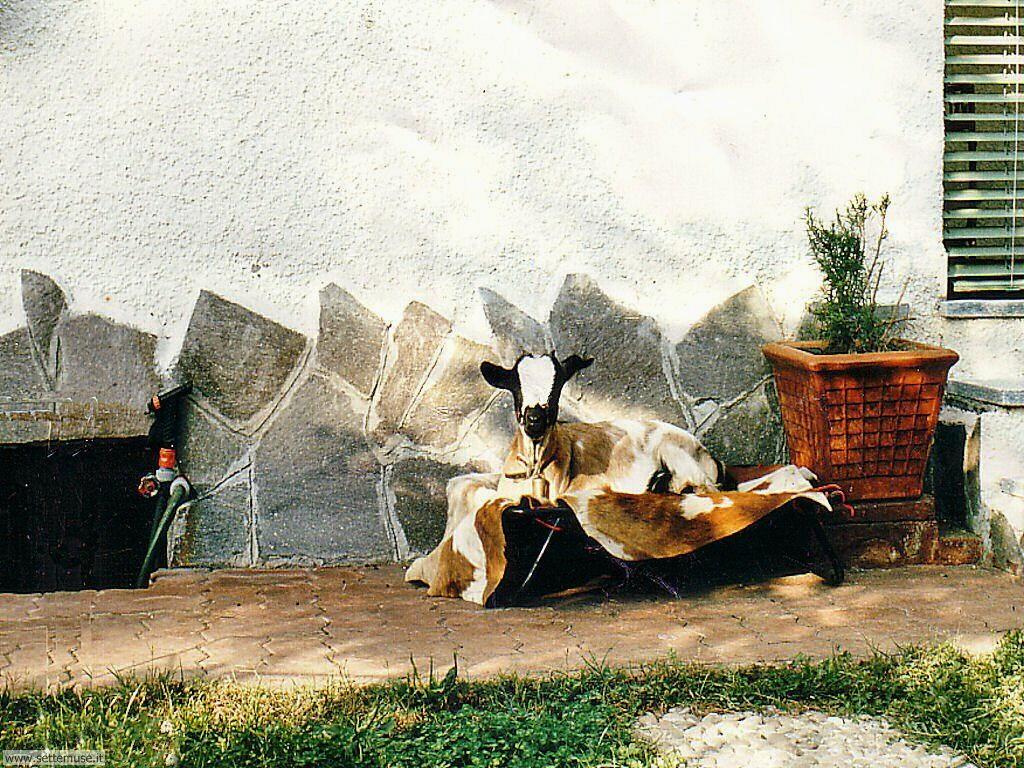 foto di capre caprette e pecore per sfondi
