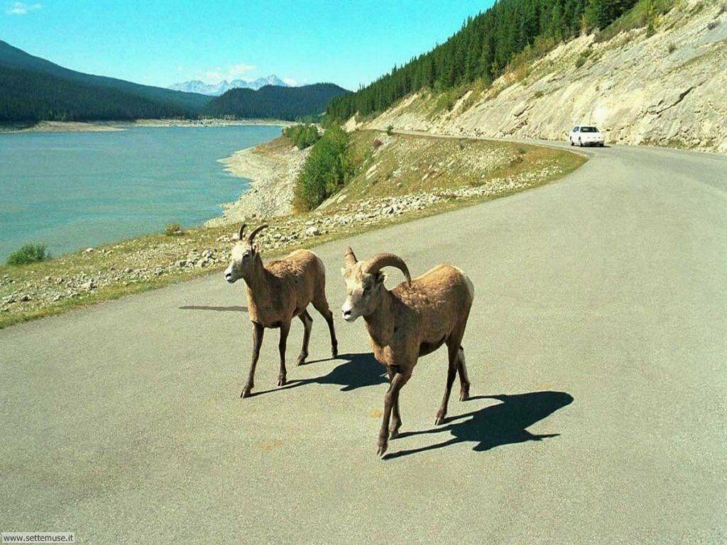 Foto di Caprette e pecore 002