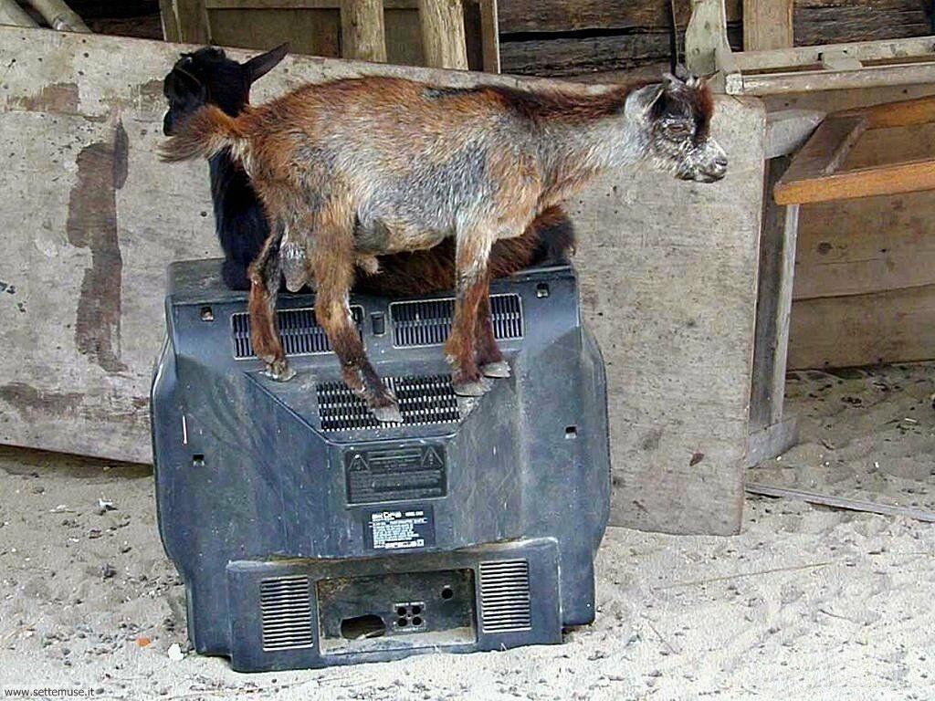 Foto di Caprette e pecore 003
