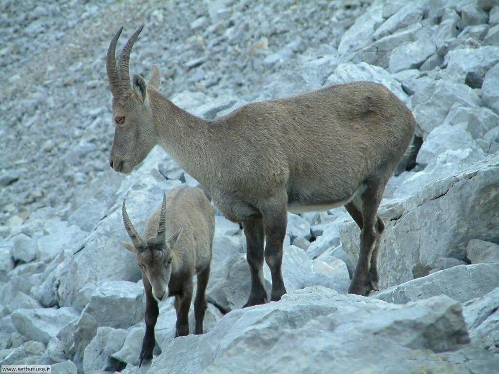 Foto di Caprette e pecore 004