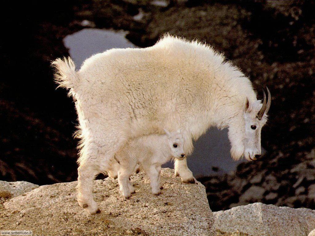 Foto di Caprette e pecore 005