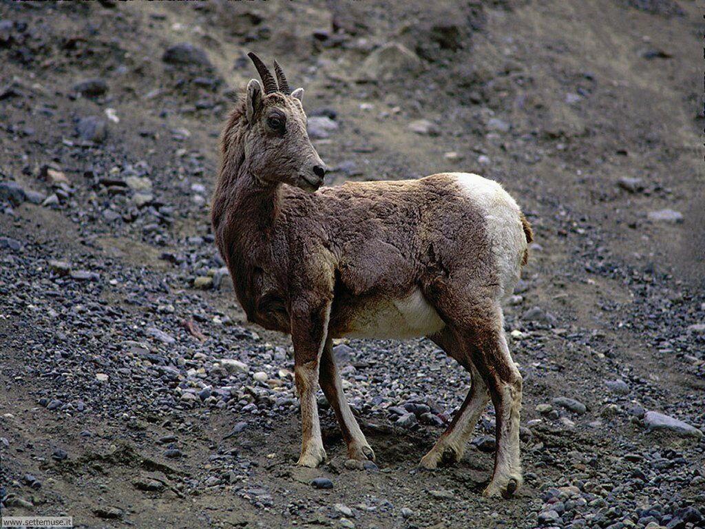Foto di Caprette e pecore 006
