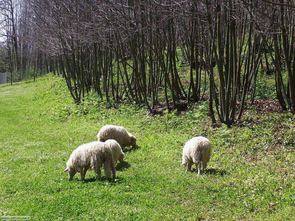 Foto di pecore 001