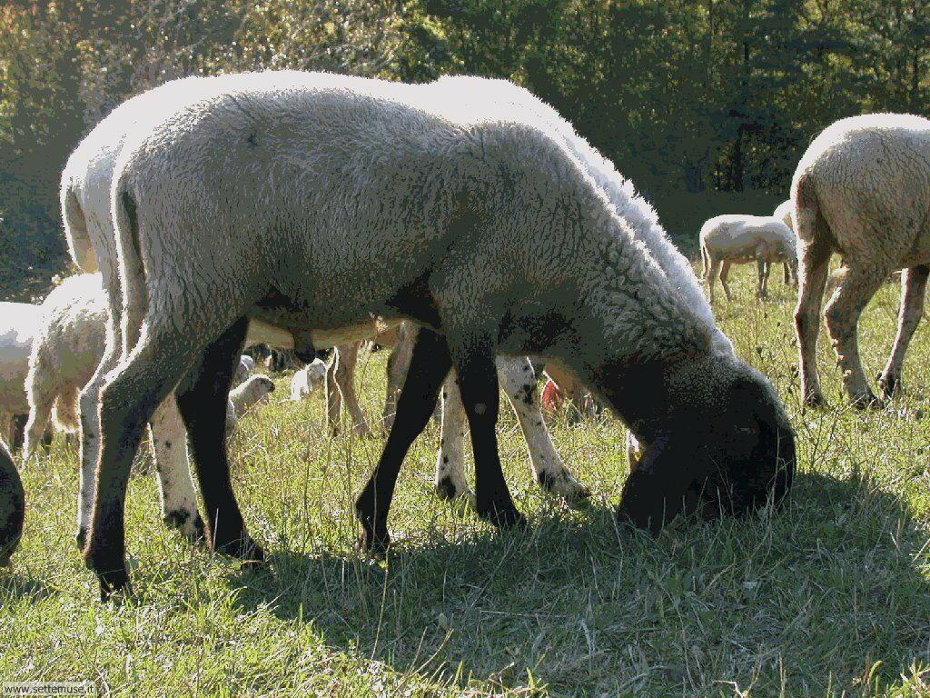 Foto di pecore 002