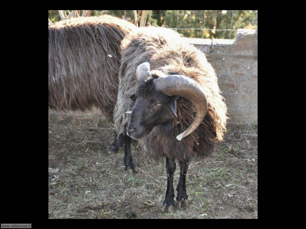 Foto di pecore 005