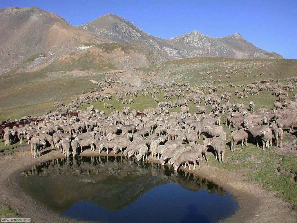 Foto di pecore 006