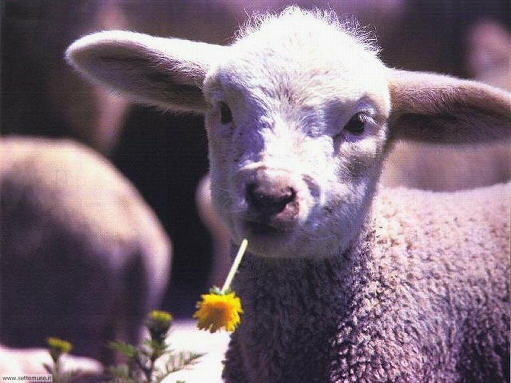 Foto di pecore 007