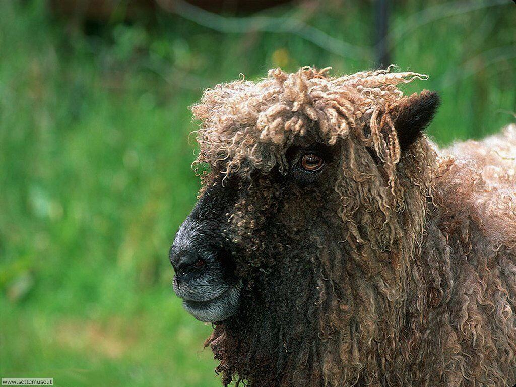 Foto di pecore 008