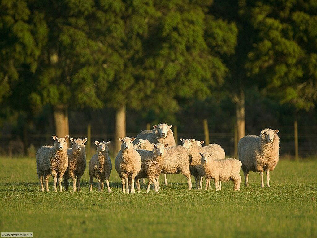 Foto di pecore 009