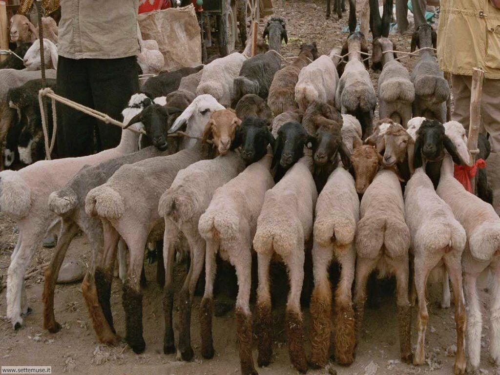 Foto di pecore 010