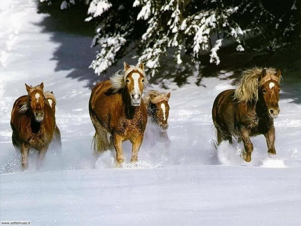 Foto sfondi Cavalli 002