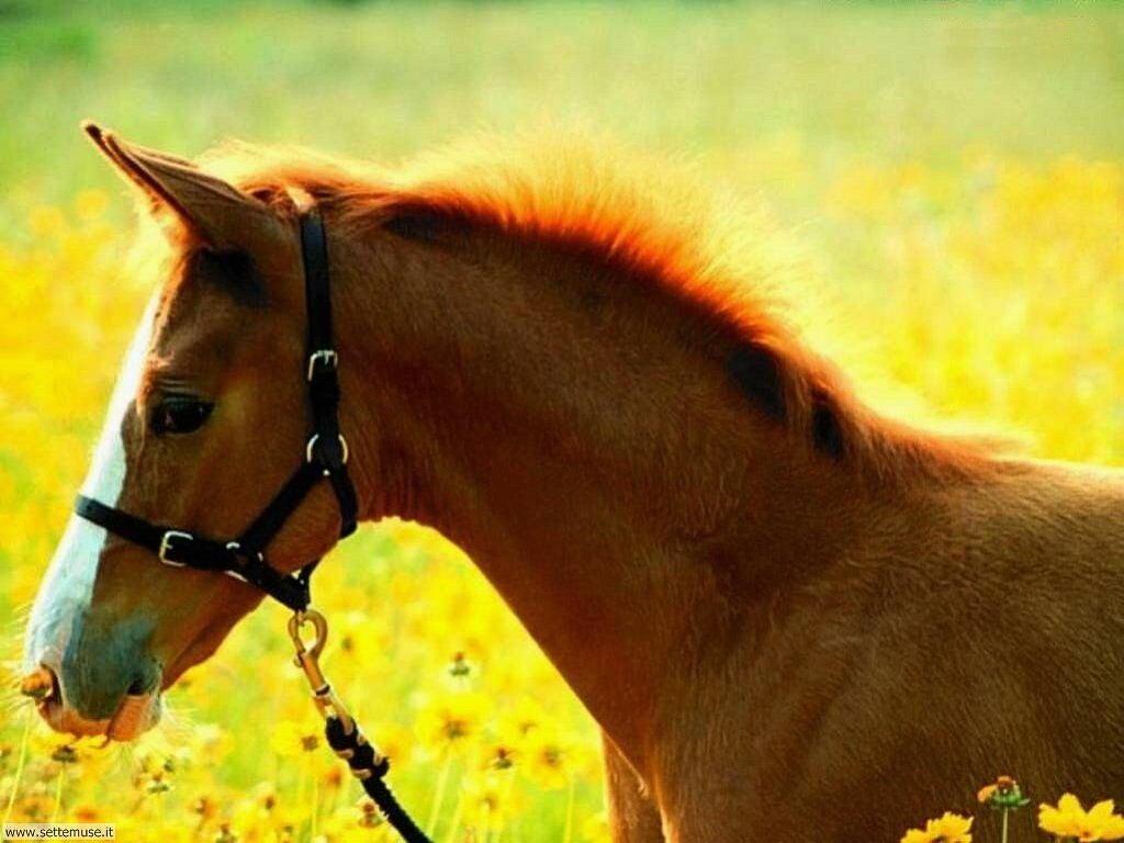 Foto cavalli per sfondi pc for Sfondi desktop animali