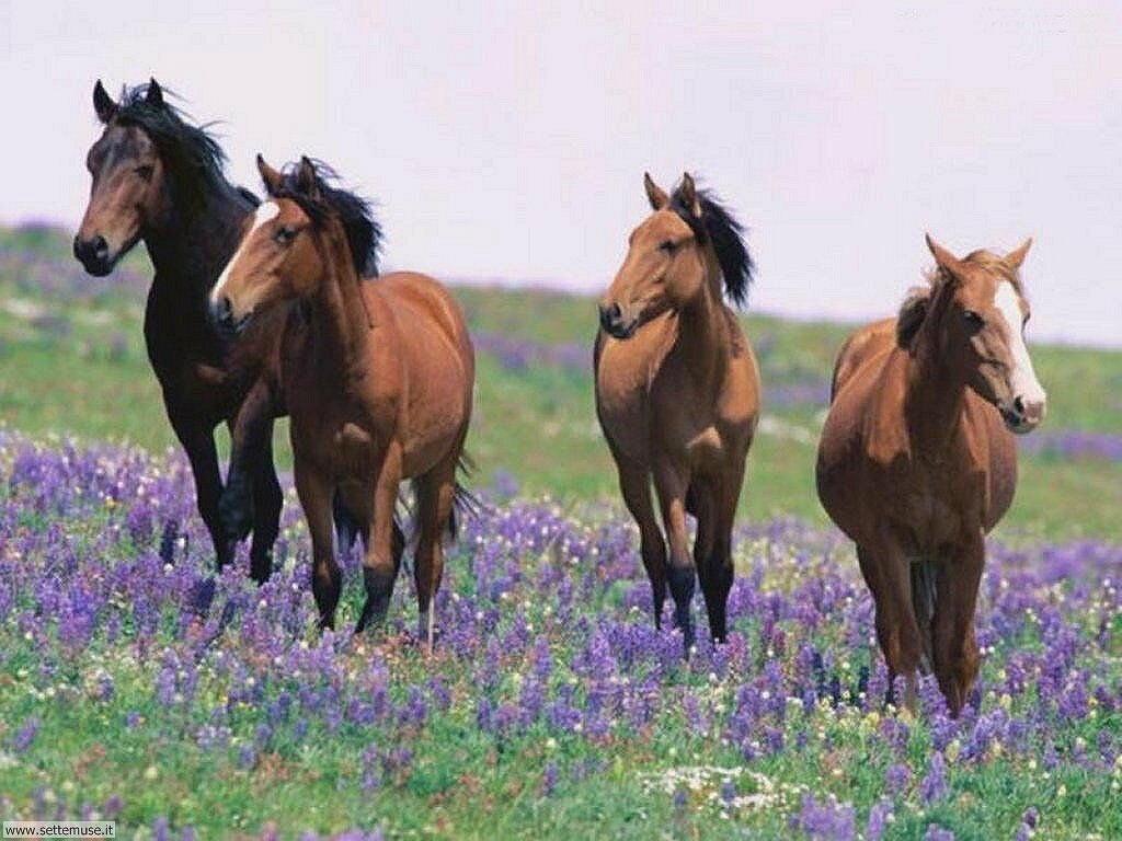 Foto sfondi Cavalli 024