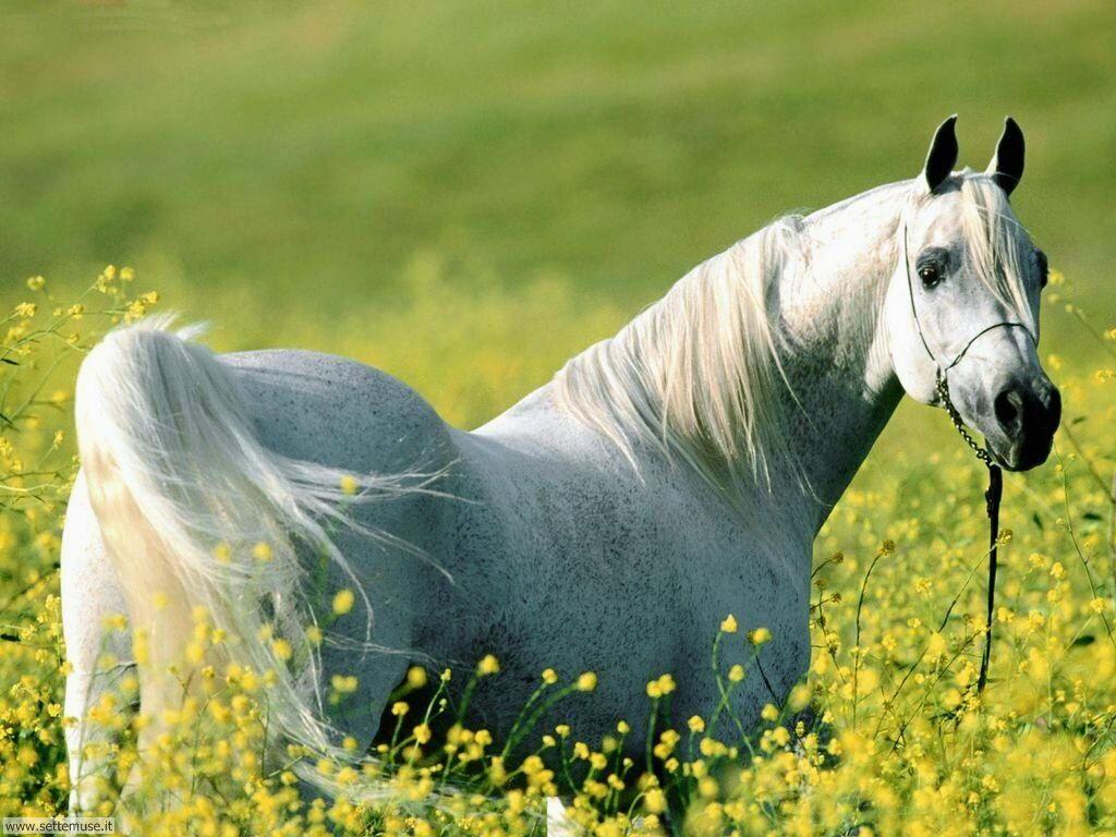 Foto sfondi Cavalli 039