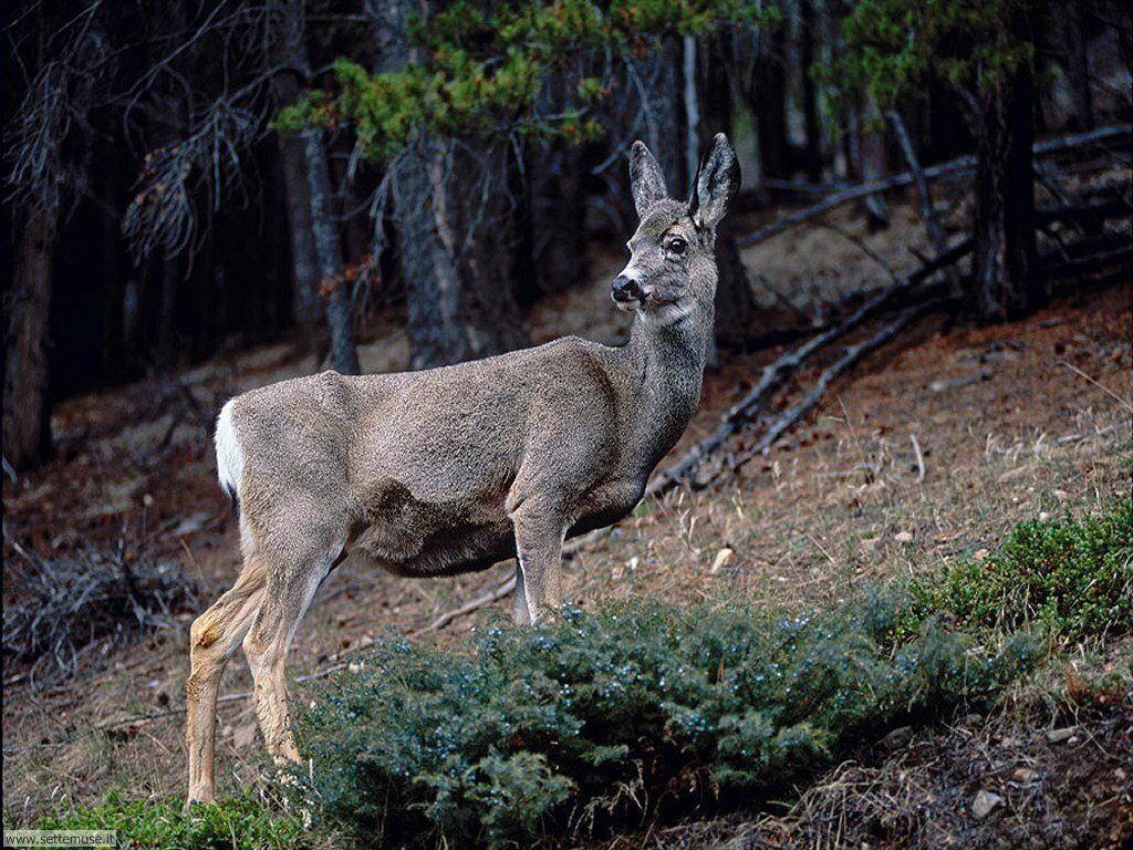 foto cervi renne daini alci 12