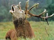 Foto sfondi cervi alci renne