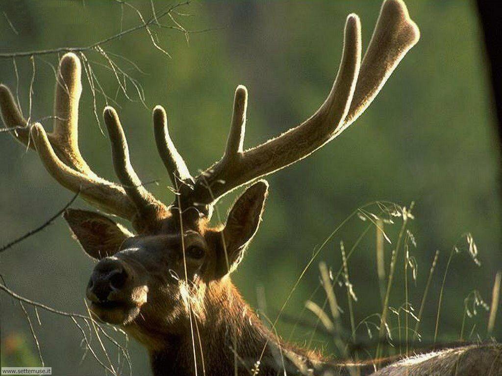 foto cervi renne daini alci 19