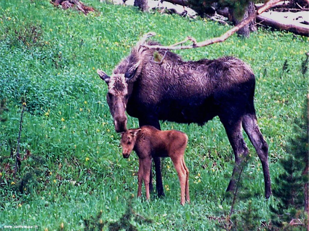 foto cervi renne daini alci 27