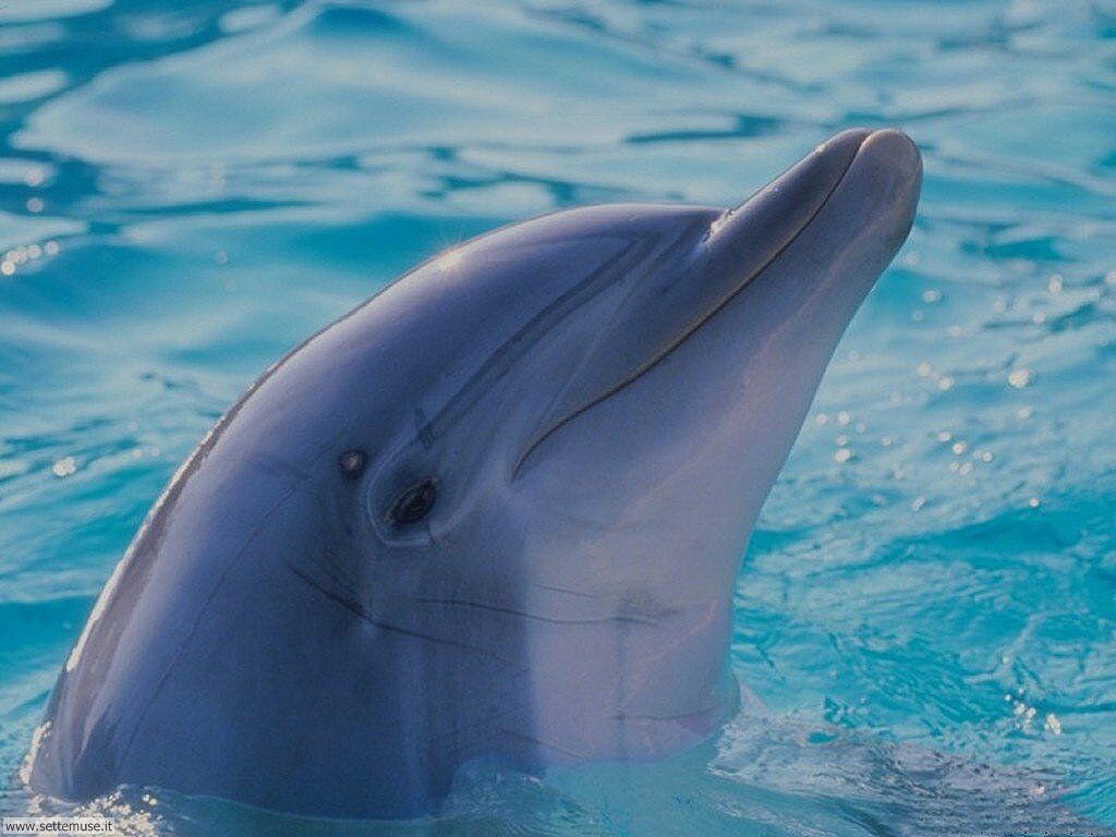 sfondi delfini da