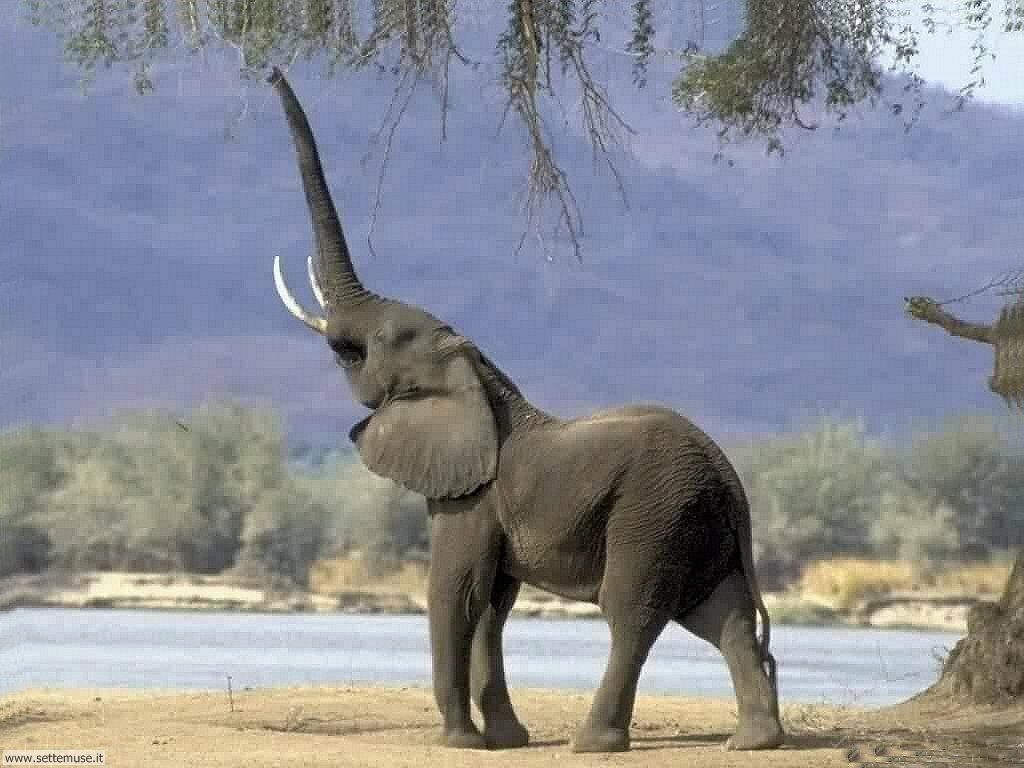 Foto elefanti per sfondi pc - Elefante foglio di colore dell elefante ...