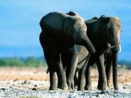 Foto sfondi elefanti