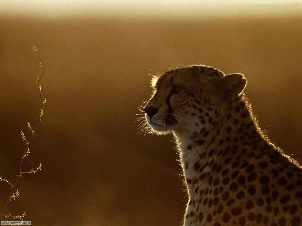 Foto giaguari ghepardi leopardi pantere per sfondi pc for Animali desktop