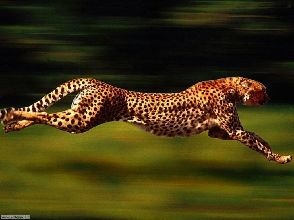 Immagini ghepardi giaguari leopardi pantere