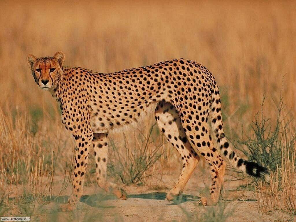 Foto giaguari ghepardi leopardi pantere per sfondi pc - Felin de la savane ...