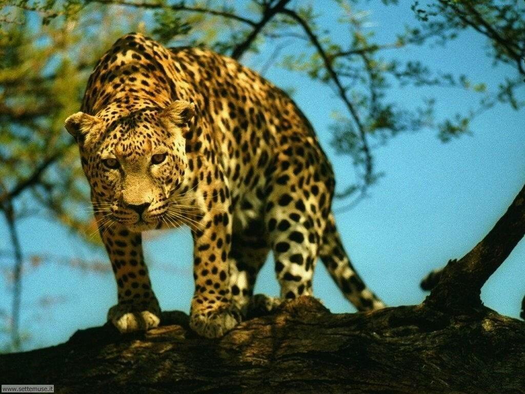 Foto di giaguaro 002