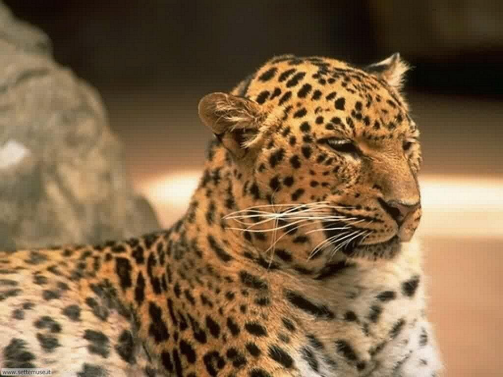 foto di ghepardo o ghepardi per sfondi