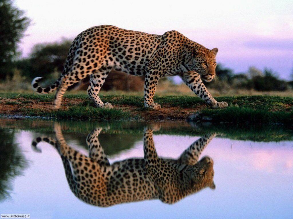 Foto di giaguaro 006