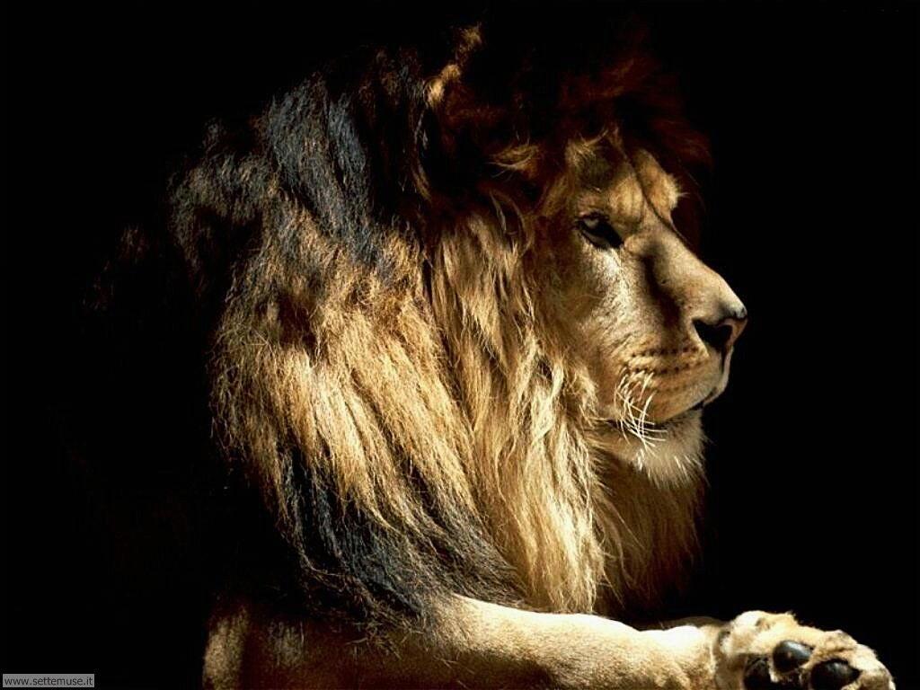 Foto leoni per sfondi pc for Foto per sfondi