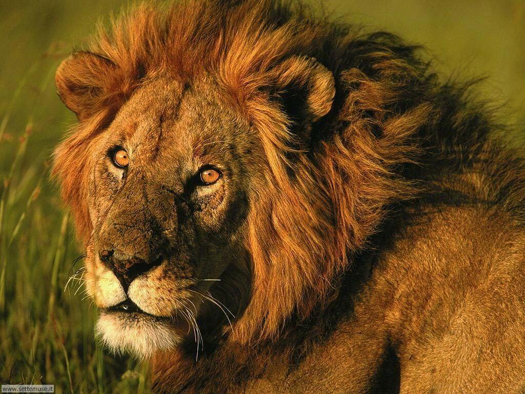 foto leoni per sfondi pc
