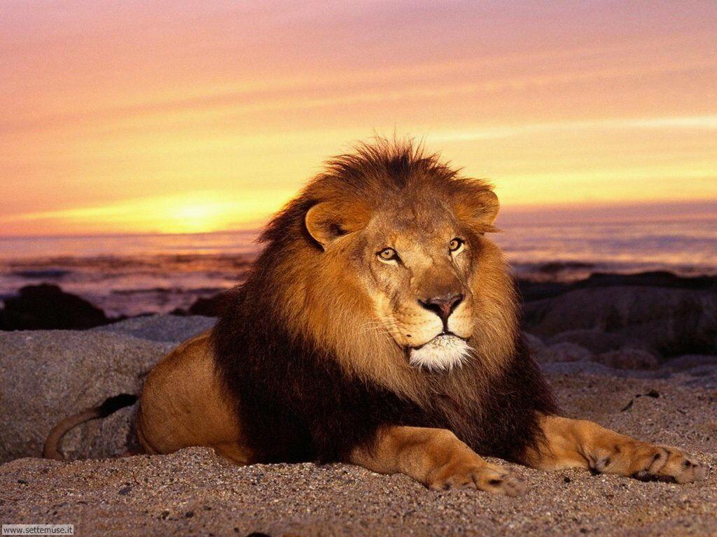 Foto leoni per sfondi pc for Sfondi leone