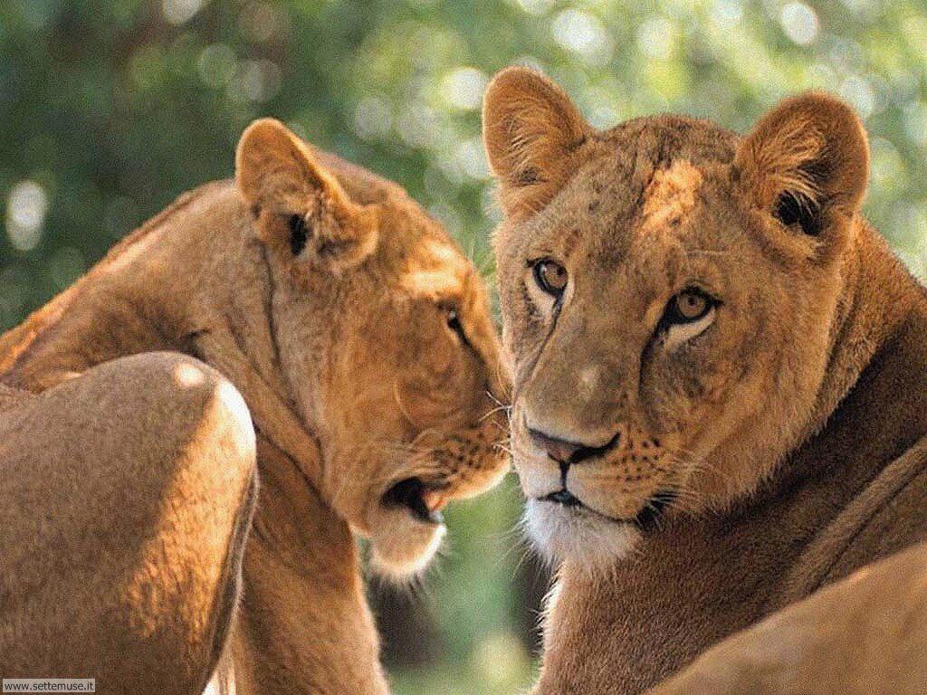 mammiferi/felini/leoni/leoni_034.jpg