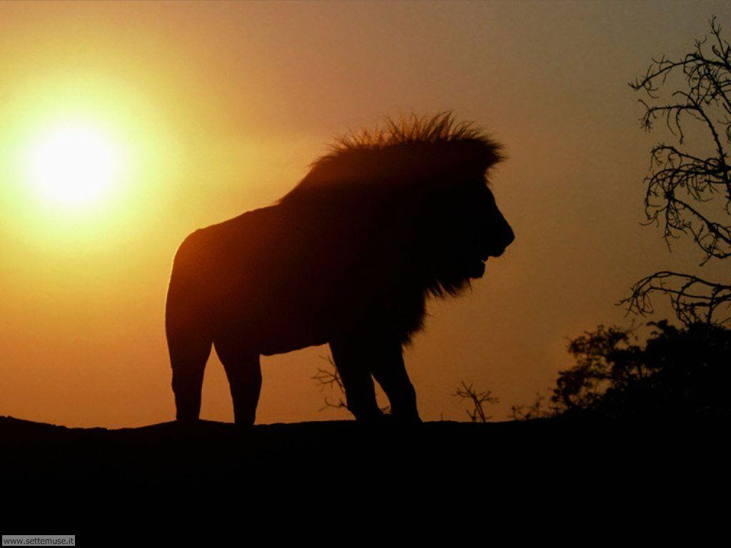 mammiferi/felini/leoni/leoni_035.jpg
