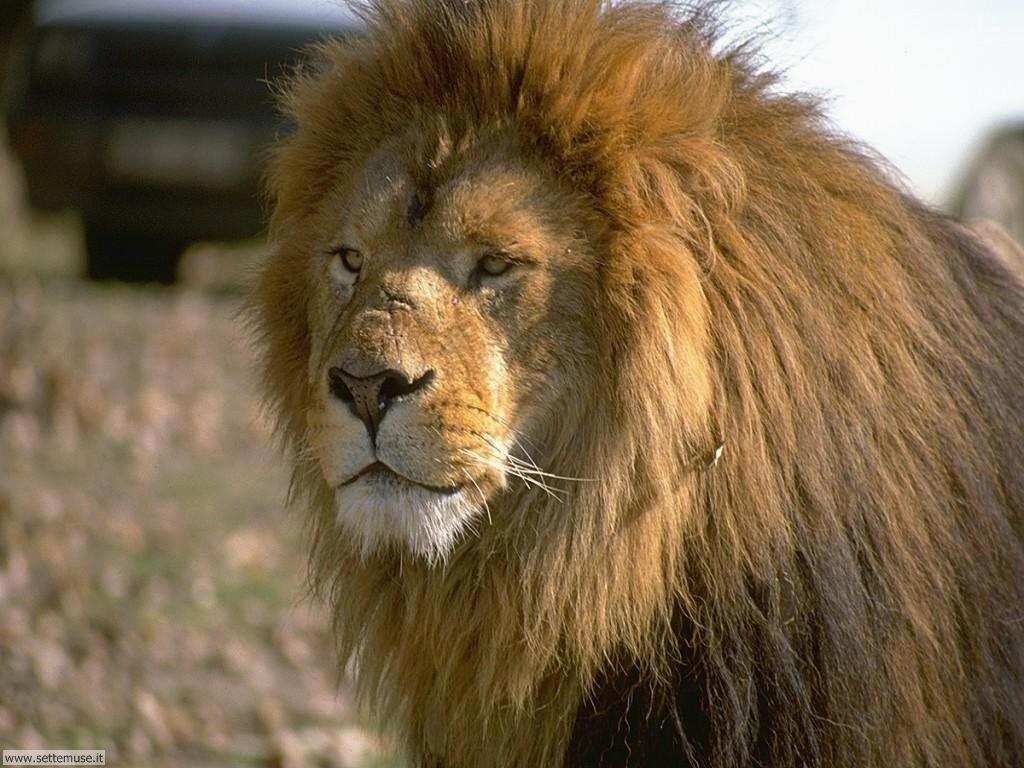 mammiferi/felini/leoni/leoni_036.jpg