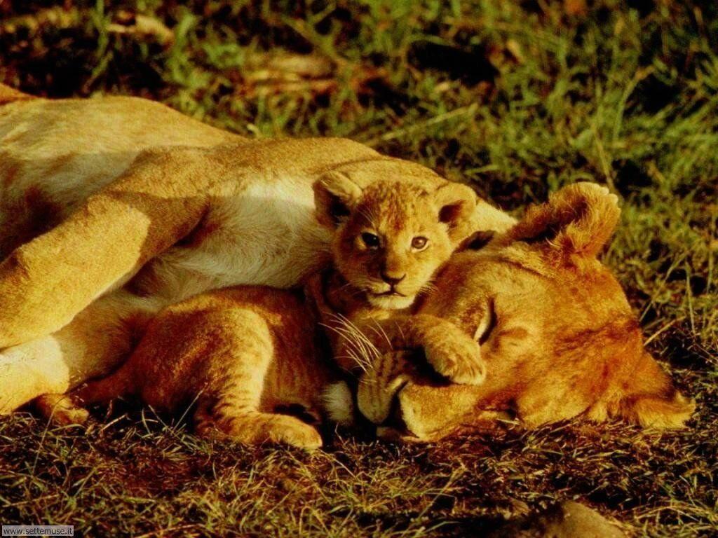 foto di leoni e leoncini per sfondi
