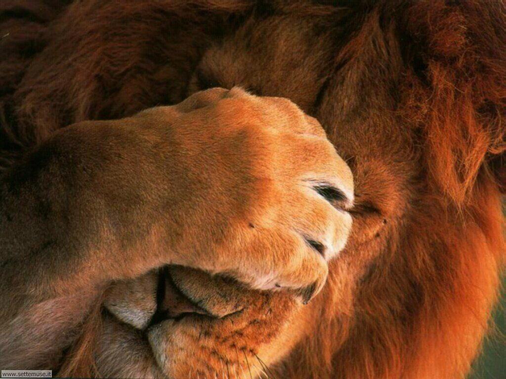 mammiferi/felini/leoni/leoni_038.jpg