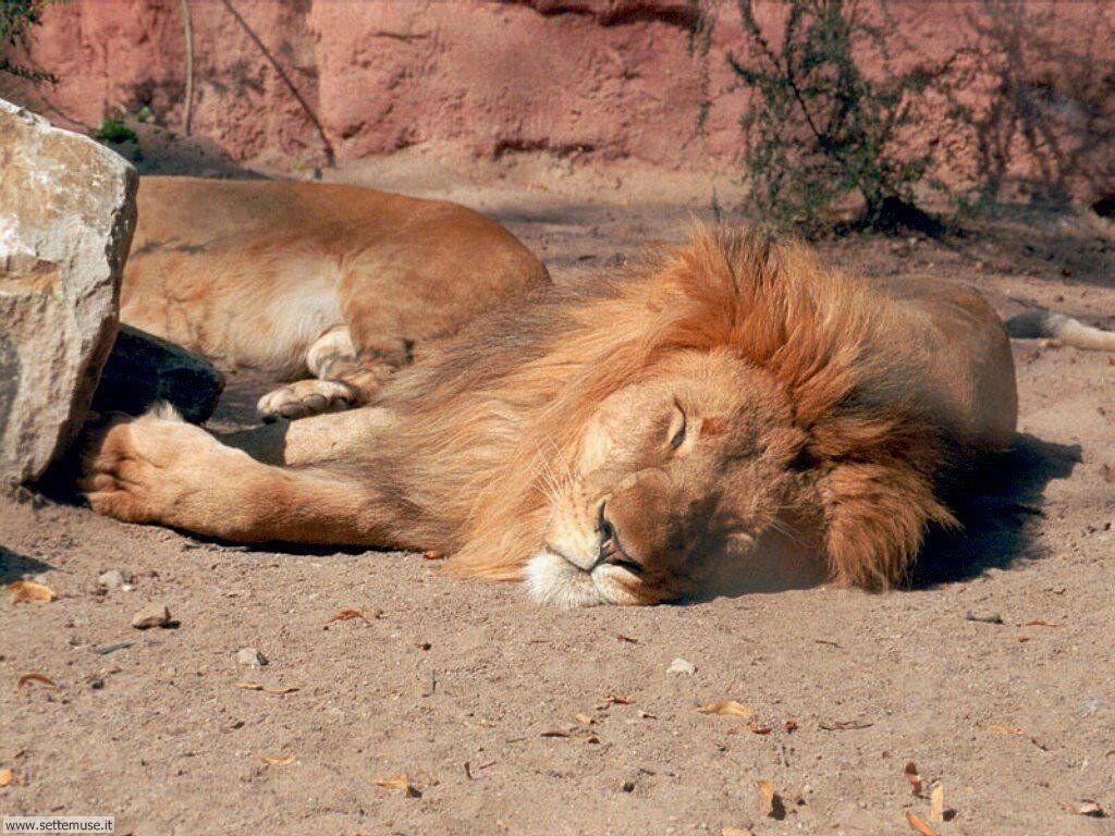 mammiferi/felini/leoni/leoni_039.jpg
